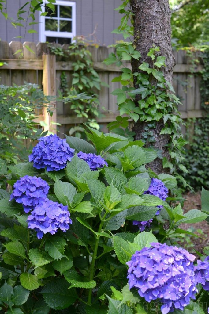 Cottage Fix blog - purple hydrangea from the garden